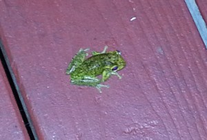 Frog at MacRaes
