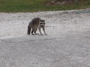 Raccoon at South Lido Nature Park