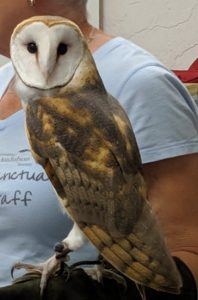 A barn owl that is part of the educational program at the Wild Raptor Sanctuary in Clearwater.